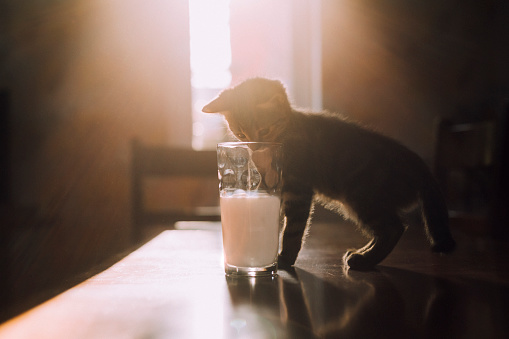 Ambient Light「Eight week old tortoiseshell kitten trying to drink milk from a glass in the morning sunlight」:スマホ壁紙(5)
