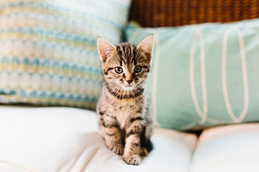 Tabby Cat「Eight week old tortoiseshell kitten on sofa」:スマホ壁紙(6)
