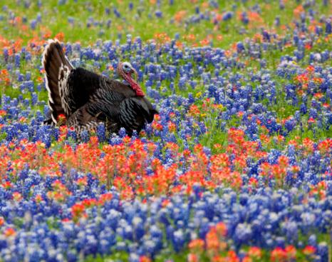 Turkey - Bird「Male wild Turkey in field of Blue Bonnets」:スマホ壁紙(1)