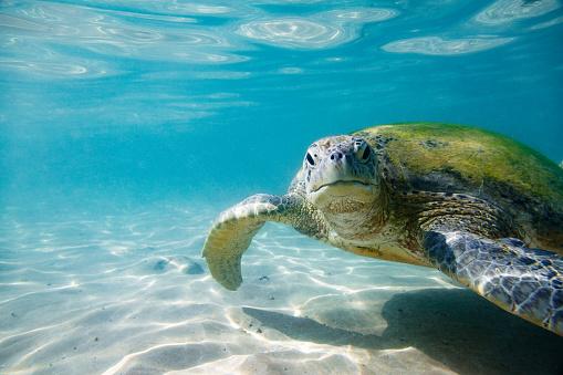 Swimming「The green sea turtle」:スマホ壁紙(6)