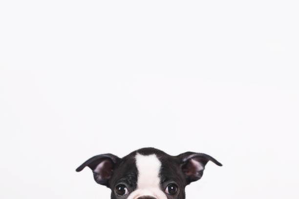 Peeking Boston terrier puppy in front of white background:スマホ壁紙(壁紙.com)