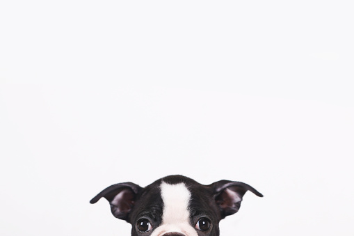 Baby animal「Peeking Boston terrier puppy in front of white background」:スマホ壁紙(3)