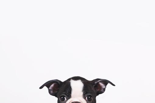Portrait「Peeking Boston terrier puppy in front of white background」:スマホ壁紙(18)