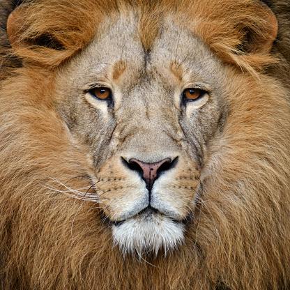 Male Animal「lion」:スマホ壁紙(12)