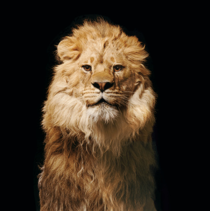 Animal Mane「Lion」:スマホ壁紙(13)