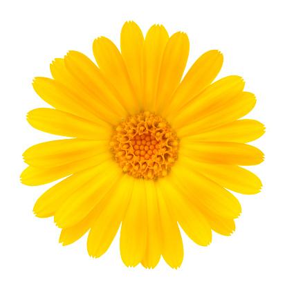 Single Flower「Calendula」:スマホ壁紙(14)