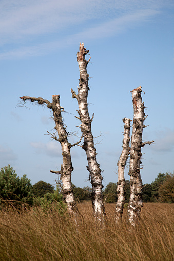 North Brabant「Four standing dead trunks of Downy birch」:スマホ壁紙(5)