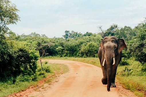 Walking「Asian Elephant at Yala National Park, Sri Lanka」:スマホ壁紙(9)