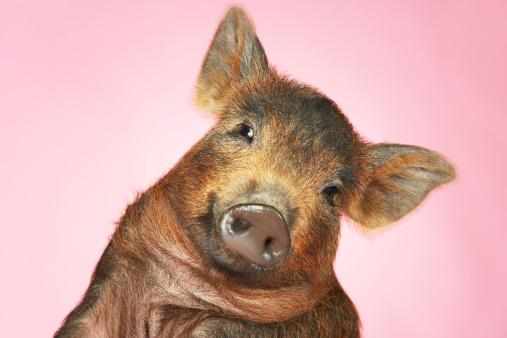 Animal Head「Piglet」:スマホ壁紙(17)