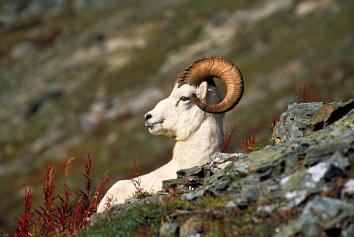 Horned「Dall Sheep ram, Denali National Park, Alaska, USA」:スマホ壁紙(1)