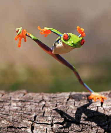 Frog「Tree Frog jumping, Indonesia」:スマホ壁紙(19)