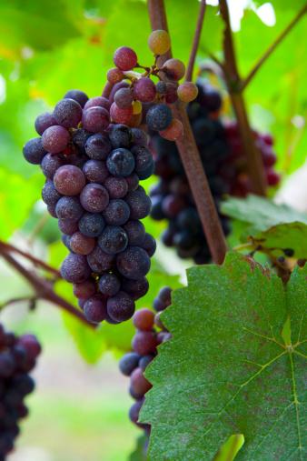 Nouvelle-Aquitaine「grapes」:スマホ壁紙(7)