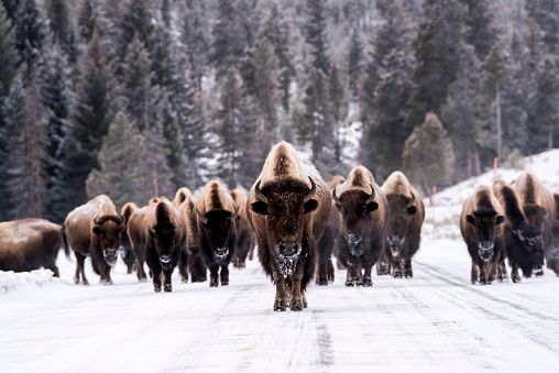 Wilderness Area「Bison in winter」:スマホ壁紙(0)