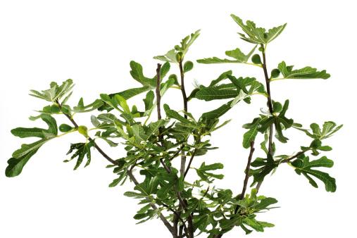 Branch - Plant Part「Fig tree」:スマホ壁紙(10)
