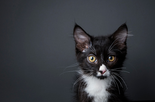 Animal Eye「Adorable Kitten - The Amanda Collection」:スマホ壁紙(2)