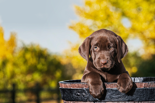 Females「Chocolate Labrador Puppy in a faux wooden barrel - 8 weeks old」:スマホ壁紙(13)