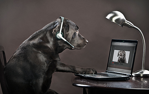 Waist Up「Chocolate labrador teleconferencing on laptop」:スマホ壁紙(8)