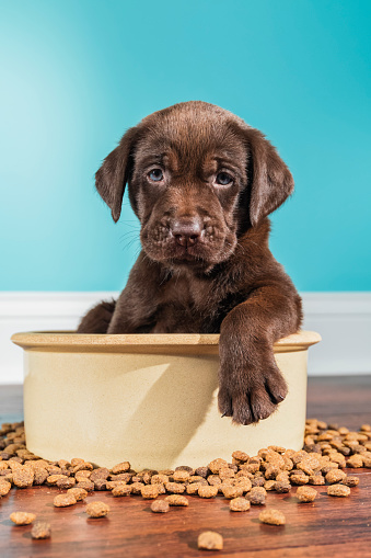 Puppy「A Chocolate Labrador puppy sitting in large dog bowl - 5 weeks old」:スマホ壁紙(15)