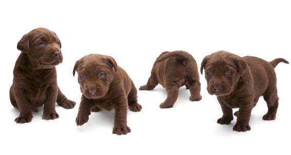 Four Animals「Chocolate Labrador puppies」:スマホ壁紙(2)