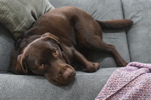 Mammal「Chocolate labrador looking up to camera」:スマホ壁紙(15)