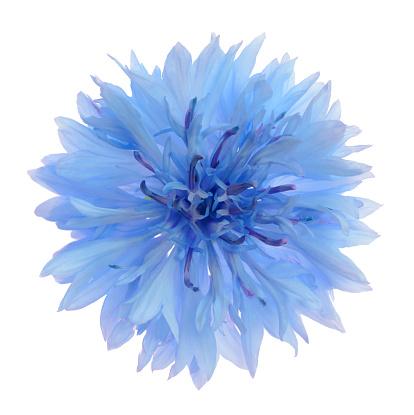 Single Flower「Powder blue cornflower in close-up on white.」:スマホ壁紙(8)