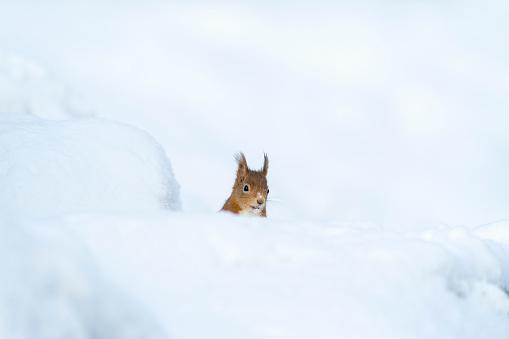 Squirrel「Eurasian red squirrel in snow」:スマホ壁紙(4)