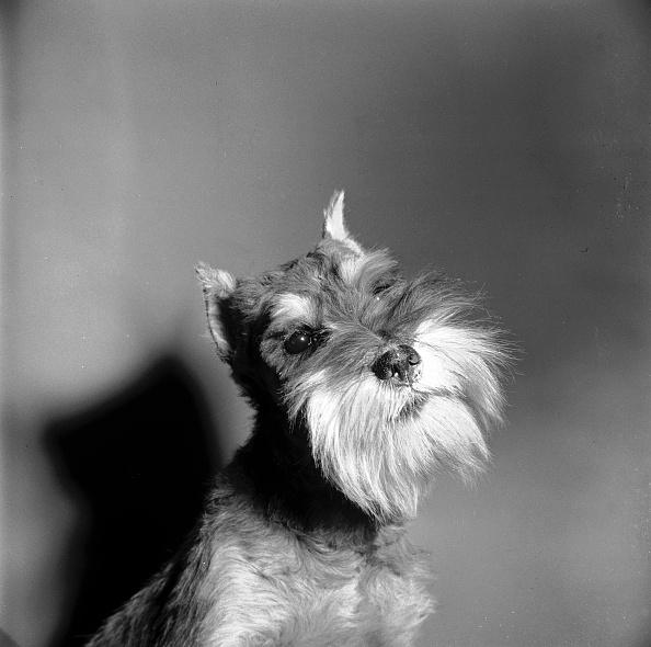 Animal Whisker「Schnauzer Dog」:写真・画像(1)[壁紙.com]
