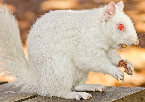 Eastern Gray Squirrel「A true albino squirrel photographed eating a nut in Companies Garden in Cape Town, Western Cape Province, South Africa.」:スマホ壁紙(17)