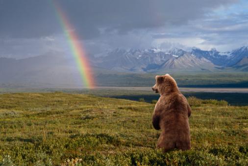 Digital Composite「USA, Alaska, Denali National Park, grizzly bear (Ursus arctos) standing, looking at rainbow, rear view」:スマホ壁紙(4)