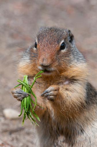 Yoho National Park「Columbian Ground Squirrel eating vegetation」:スマホ壁紙(16)