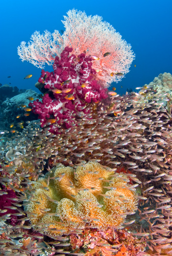 Soft Coral「Sweeper fish (Pempheridae) school in front of soft corals, Raja Ampat, Papua, Indonesia」:スマホ壁紙(0)