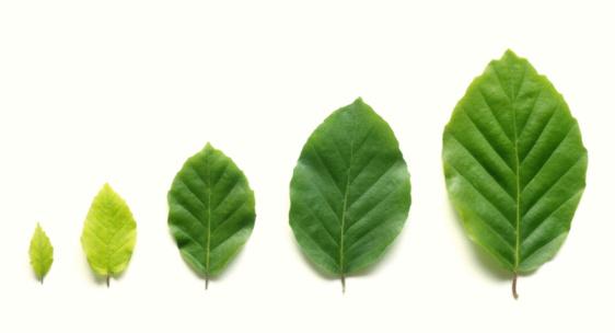 Development「Row of five beech leaves in increasing size.」:スマホ壁紙(0)