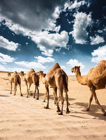 Walking「camel on the desert」:スマホ壁紙(1)