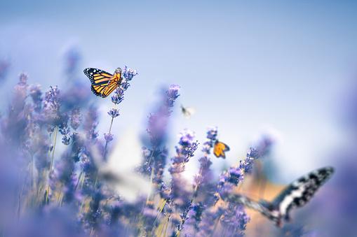 Botany「Lavender Field With Butterflies」:スマホ壁紙(10)