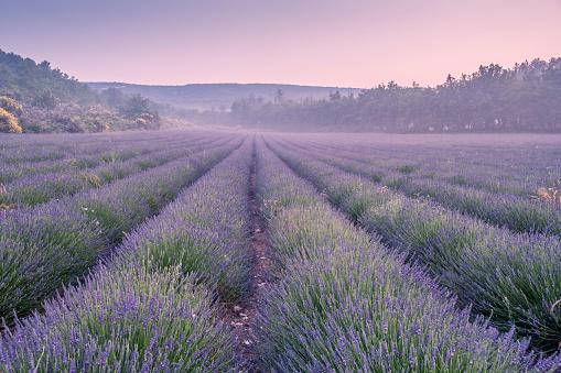 Lavender Color「Lavender field」:スマホ壁紙(18)