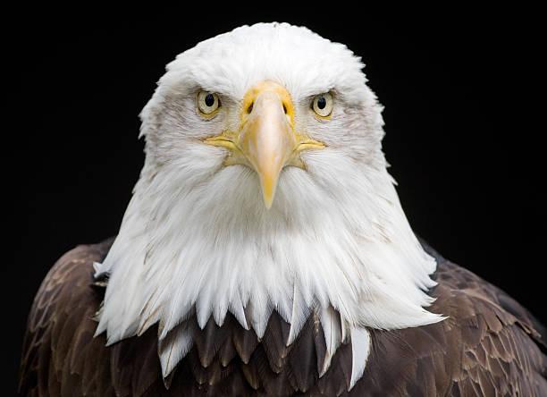 KIng Of The Skies (Haliaeetus Leucocephalus):スマホ壁紙(壁紙.com)