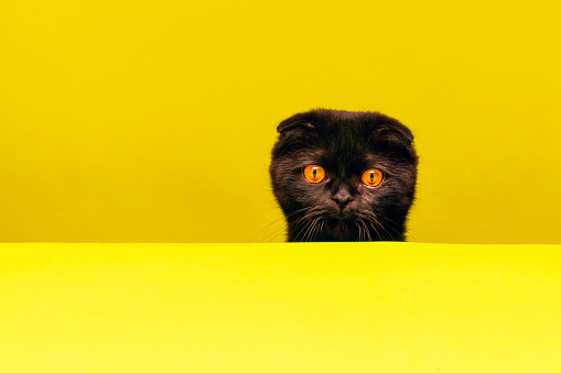 Animal Whisker「there is a confused and sweet cat at the table」:スマホ壁紙(16)