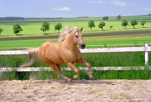 Stallion「galloping Quarter Horse in paddock」:スマホ壁紙(11)