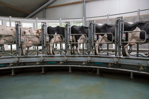 Females「Dairy cows standing together for milking」:スマホ壁紙(0)