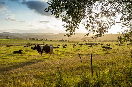 Cow「Dairy Cows」:スマホ壁紙(10)
