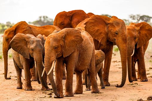 Approaching「Tsavo East African Red Elephants - Attack」:スマホ壁紙(18)