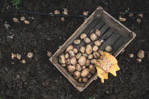 Planting「Potatoes in wooden box」:スマホ壁紙(4)