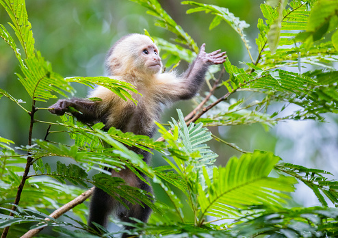 Costa Rica「White-Faced Capuchin Monkey baby in treetops  at Tortuguero National Park, Costa Rica」:スマホ壁紙(11)