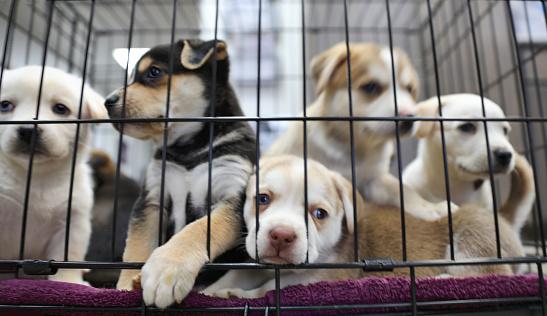 Puppy「Litter of puppies in animal shelter. Australian Shepherds」:スマホ壁紙(11)