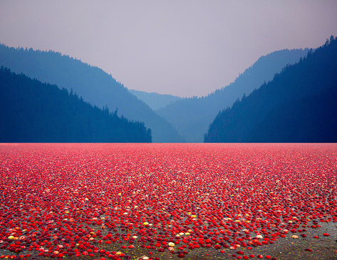 British Columbia「Field of cranberries.」:スマホ壁紙(14)