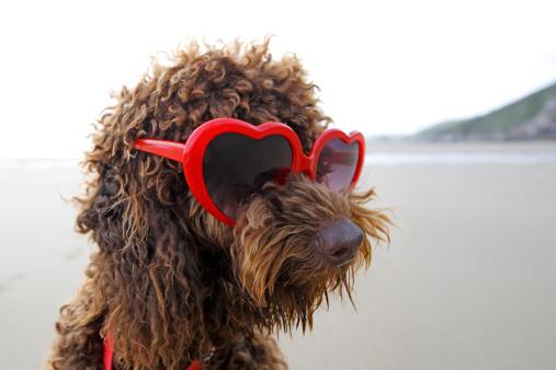 Playing「Dog on beach wearing sunglasses」:スマホ壁紙(3)