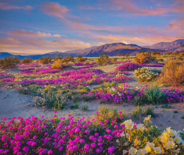 Spring desert wildflowers in Anza Borrego Desert State Park, CA:スマホ壁紙(壁紙.com)
