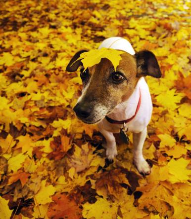 かえでの葉「秋の犬」:スマホ壁紙(19)