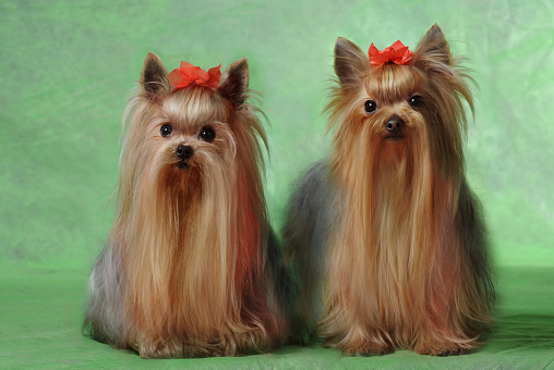 Two Animals「Yorkshire Terrier」:スマホ壁紙(12)