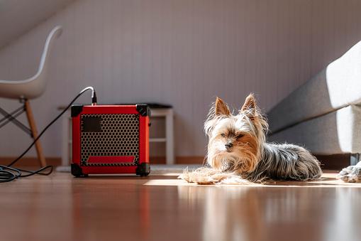 Bass Instrument「Yorkshire Terrier lying by amplifier on hardwood floor at home」:スマホ壁紙(13)